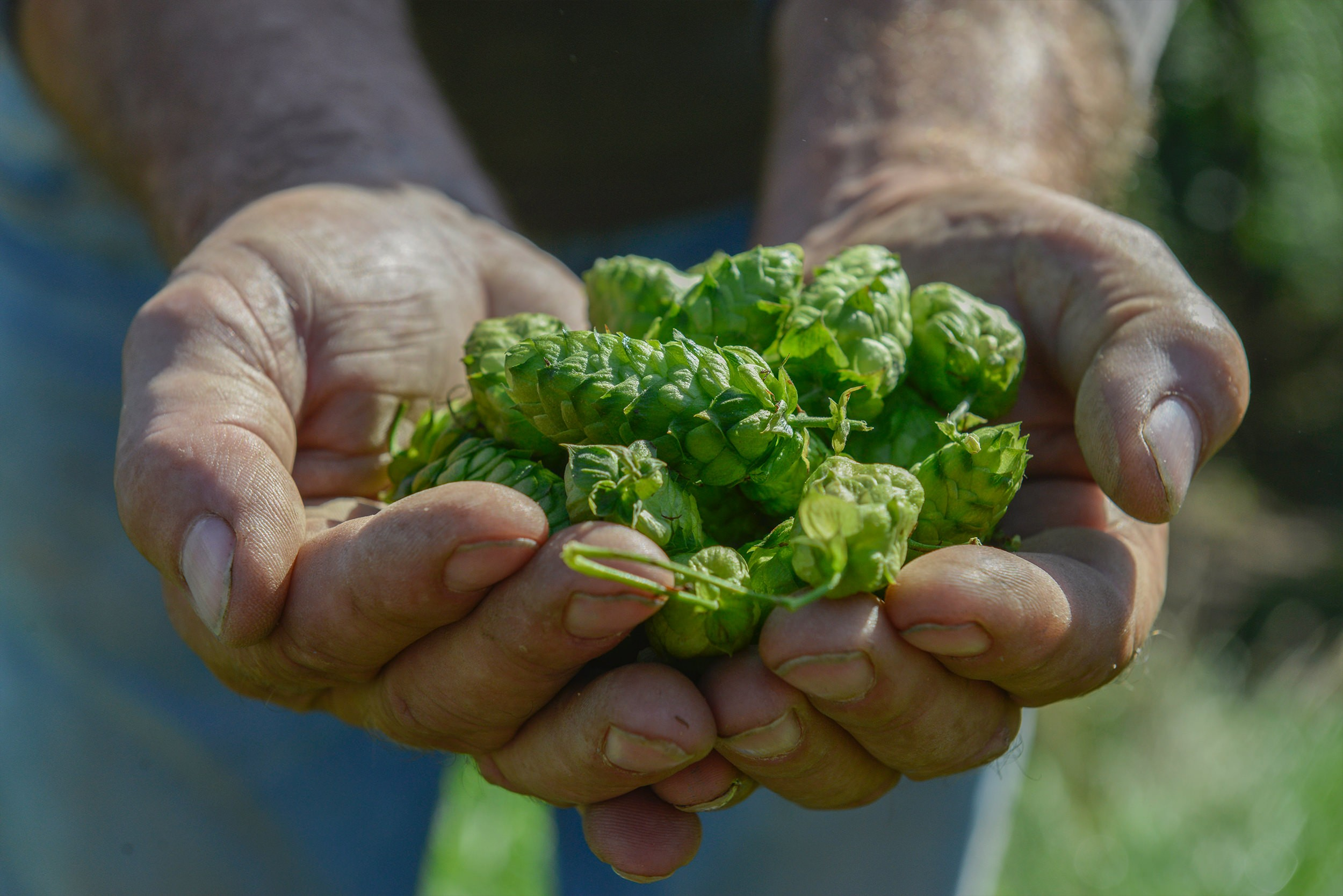 The hops of Alsace, creators of flavors